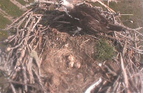 The female osprey is getting ready to take her turn at incubating the eggs.